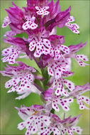 Image of <i>Neotinea</i> × <i>dietrichiana</i>