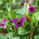 صورة <i>Viola selkirkii</i> Pursh ex Goldie