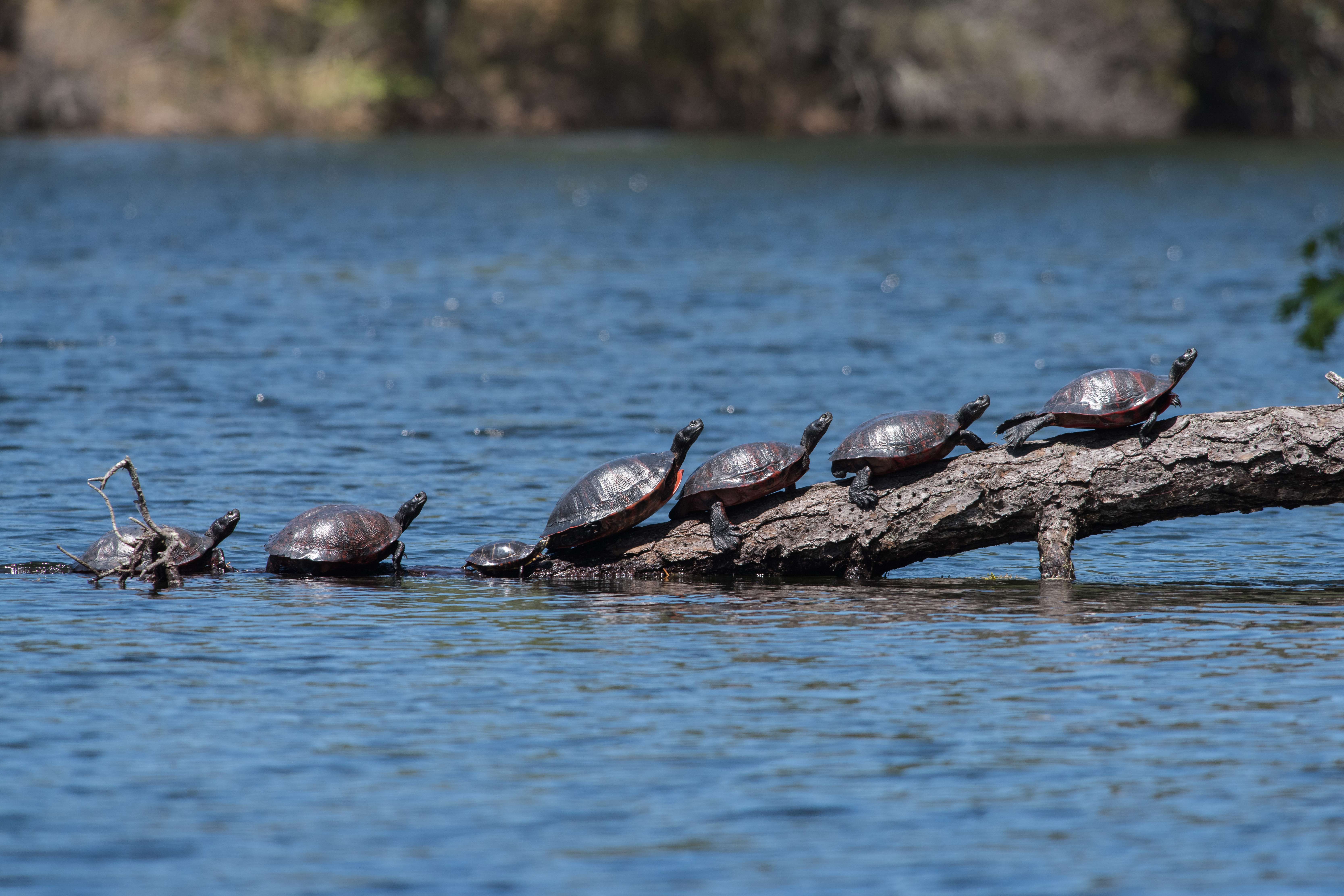 Image of American Red-bellied Turtle