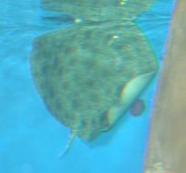 Image of California Butterfly Ray