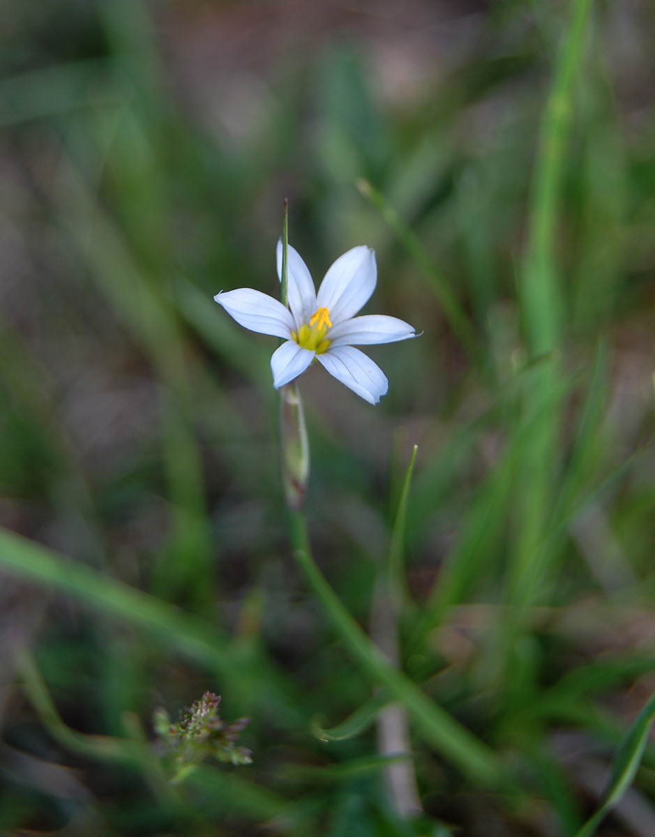 Image of prairie blue-eyed grass