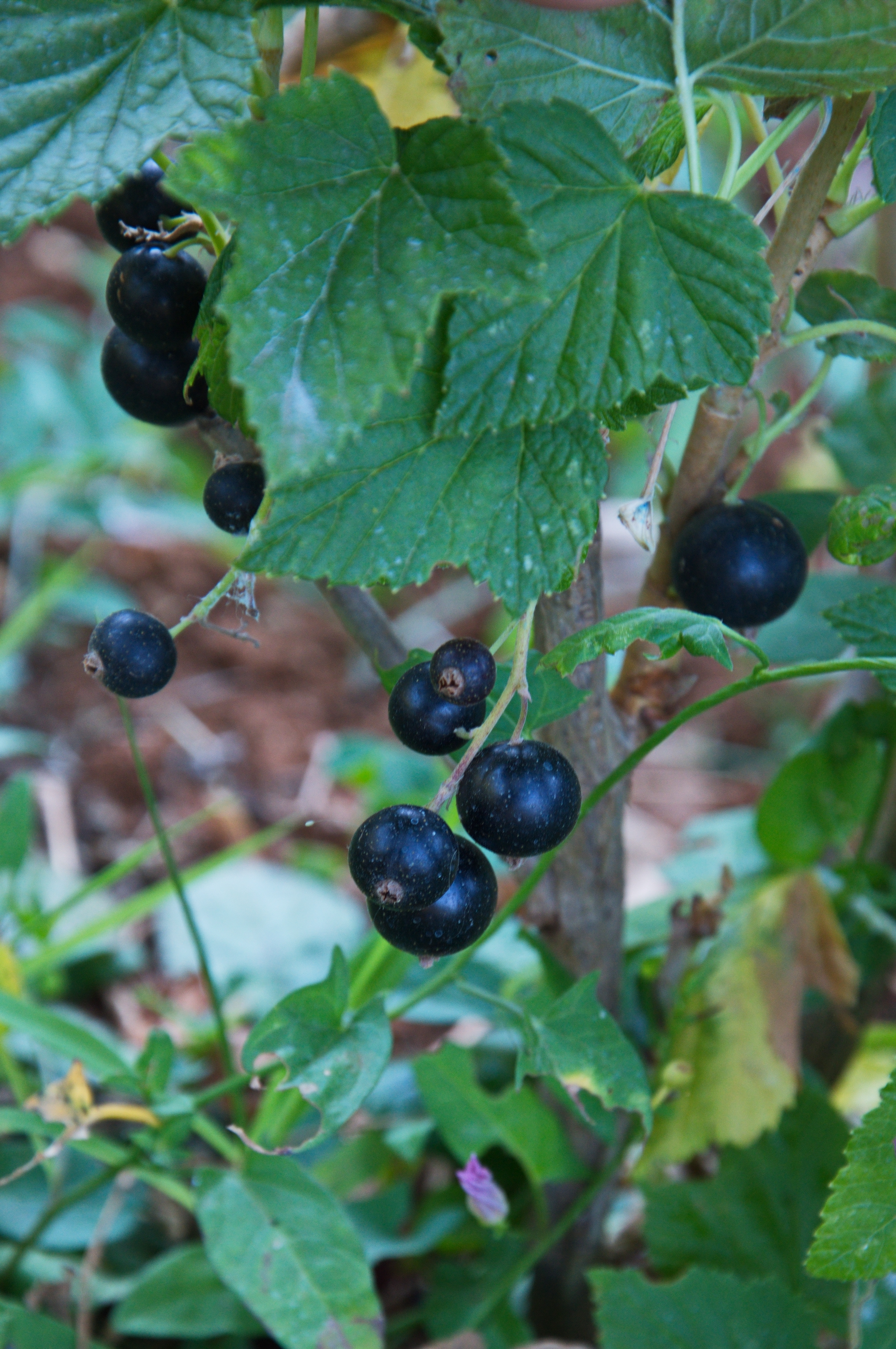 Image of black currant