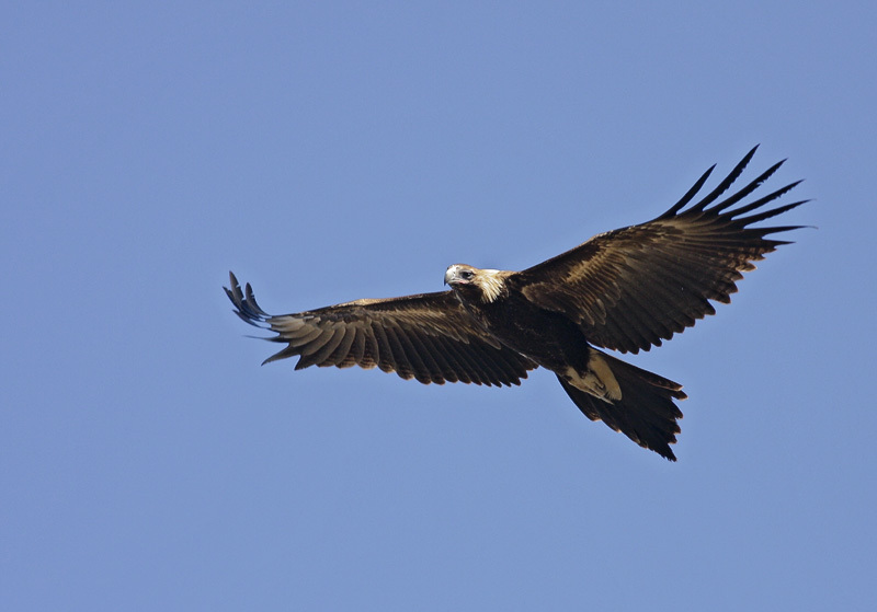 Image of Wedge-tailed eagle