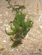 Image of <i>Caulerpa prolifera</i>