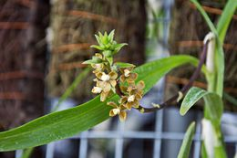 Image of <i>Encyclia maculosa</i>