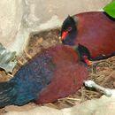 Image of Green-naped Pheasant-pigeon