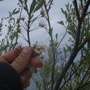 Image of Sand cherry