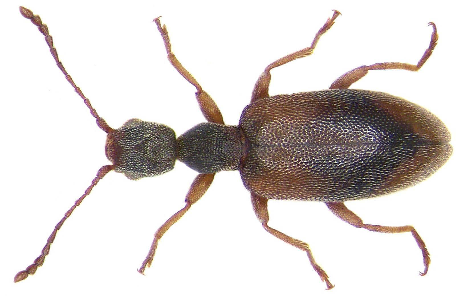 Image of <i>Endomia occipitalis</i> (Dufour 1843) Dufour 1843