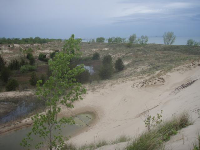 Image of plains cottonwood