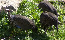 Image of Vulturine Guineafowl