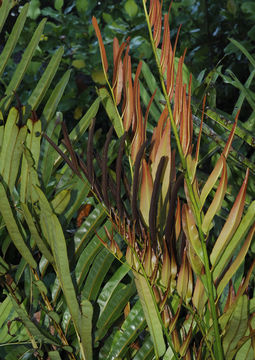 Image of Golden Leather Fern