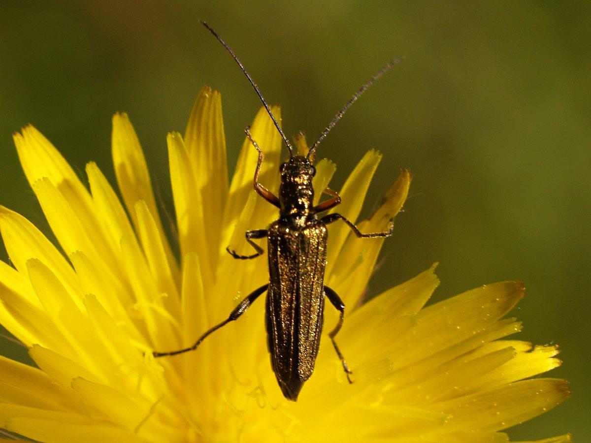 Image of <i>Oedemera flavipes</i>