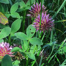 Image of cows clover