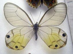 Image of <i>Haetera piera</i> Linnaeus 1758