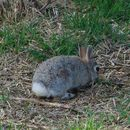 Image of Nuttall's cottontail