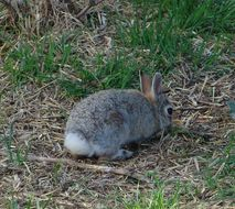 Image of Mountain Cottontail