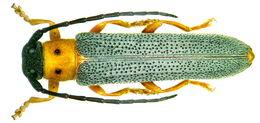 Image of Twin spot longhorn beetle