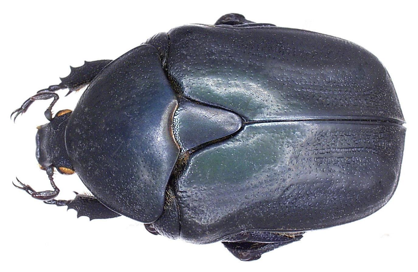 Image of <i>Protaetia</i> (<i>Potosia</i>) <i>opaca</i> (Fabricius 1787)