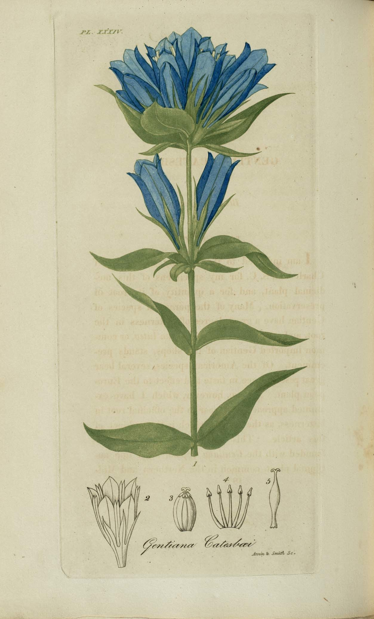 Image of <i>Gentiana catesbi</i>