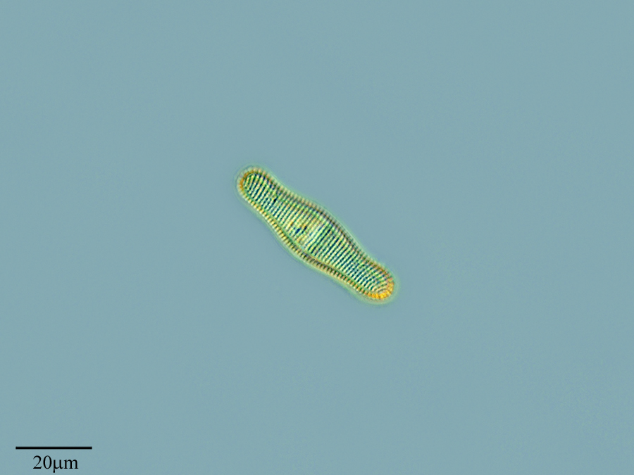 Image of <i>Achnanthes inflata</i>