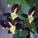 Image of <i>Catasetum tenebrosum</i> Kraenzl.