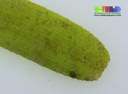 صورة <i>Cymodocea serrulata</i> (R. Br.) Asch. & Magnus