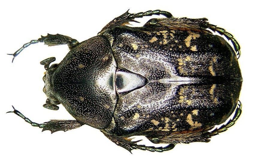 Image of <i>Protaetia <i>orientalis</i></i> ssp. orientalis