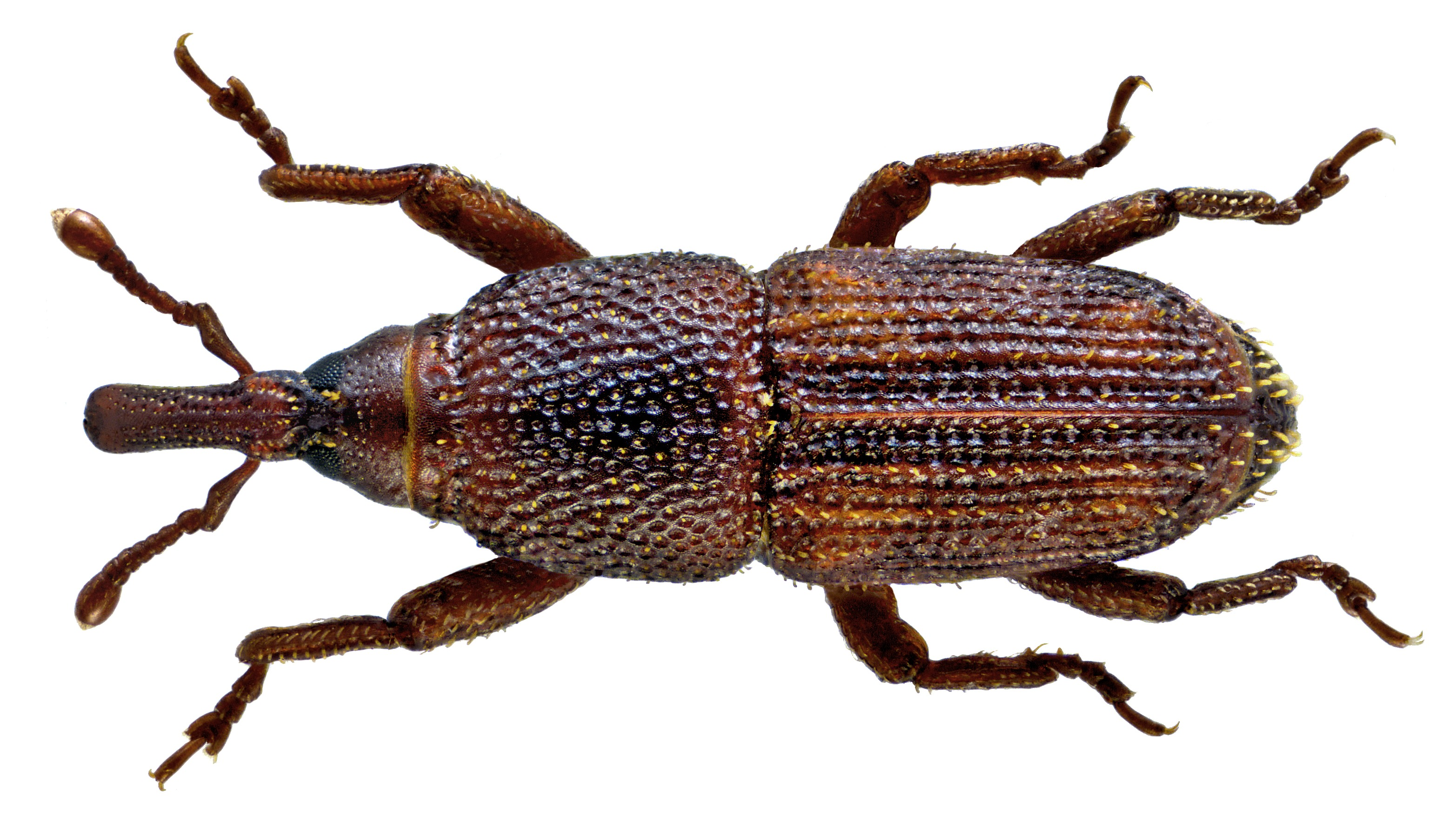 Image of rice weevil