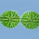 Image of Zygnemophyceae