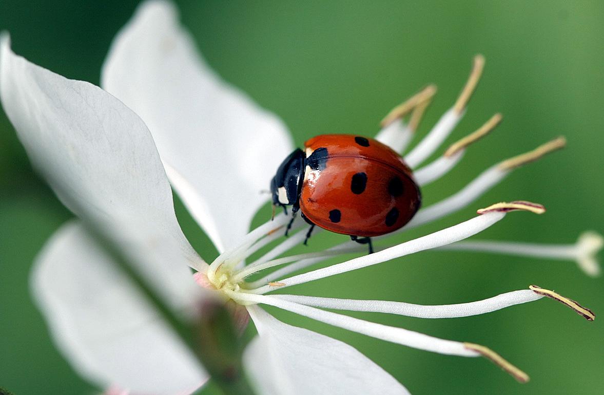 Image of 7-spot ladybird