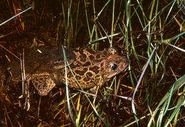 Image of Iberian Spadefoot Toad