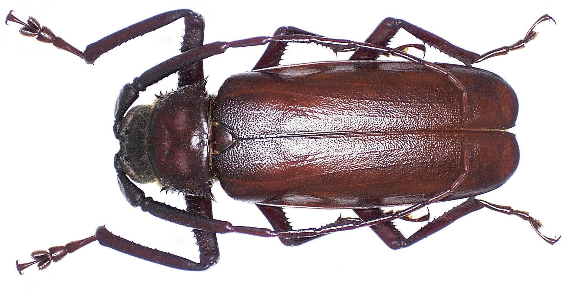 Image of <i>Macrotoma palmata</i> (Fabricius 1793)