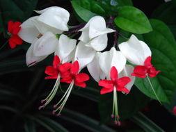 Image of <i>Clerodendrum thomsonae</i>