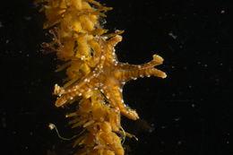 Image of <i>Sasakiella cruciformis</i> Okubo 1917