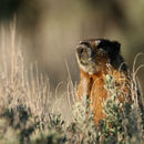 Image of Yellow-bellied Marmot