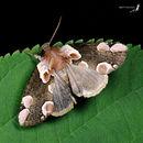 Image of <i>Thyatira batis formosicola</i>