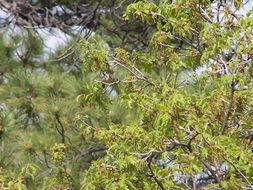 Image of Gambel Oak