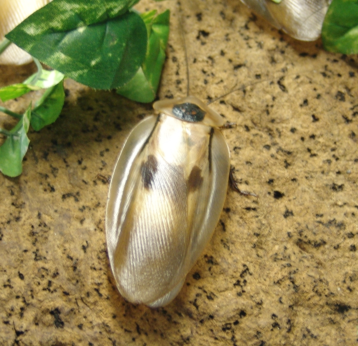 Image of Caribbean Giant Cockroach