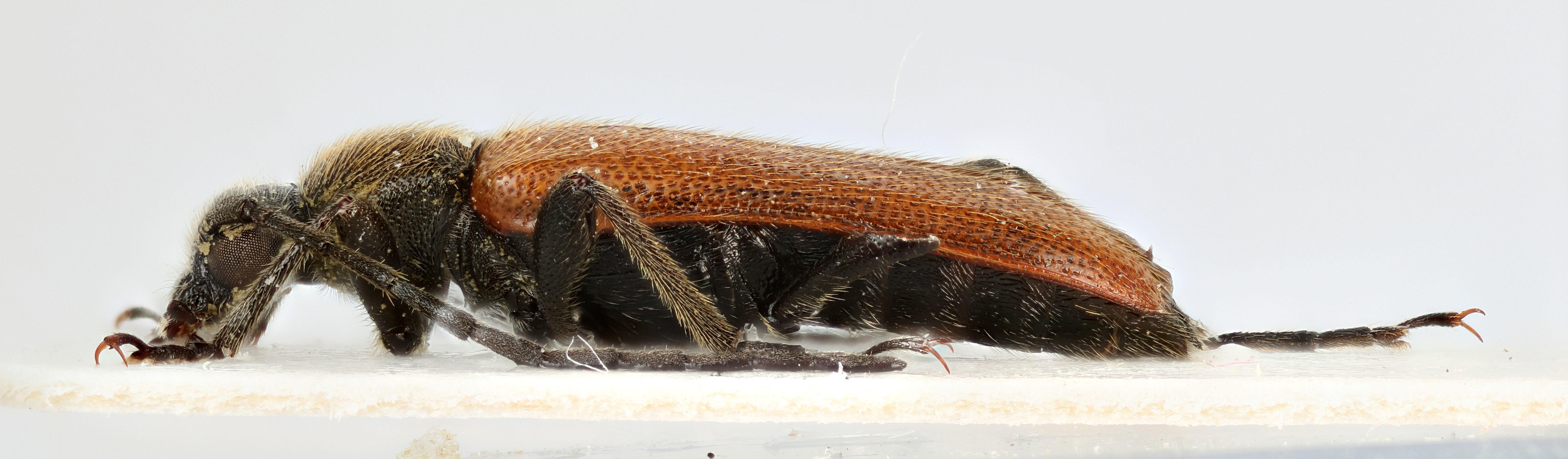 Image of <i>Alosterna anatolica</i> Adlbauer 1992