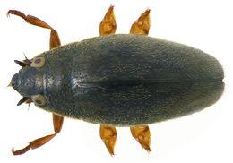 Image of Hairy Whirligig Beetle
