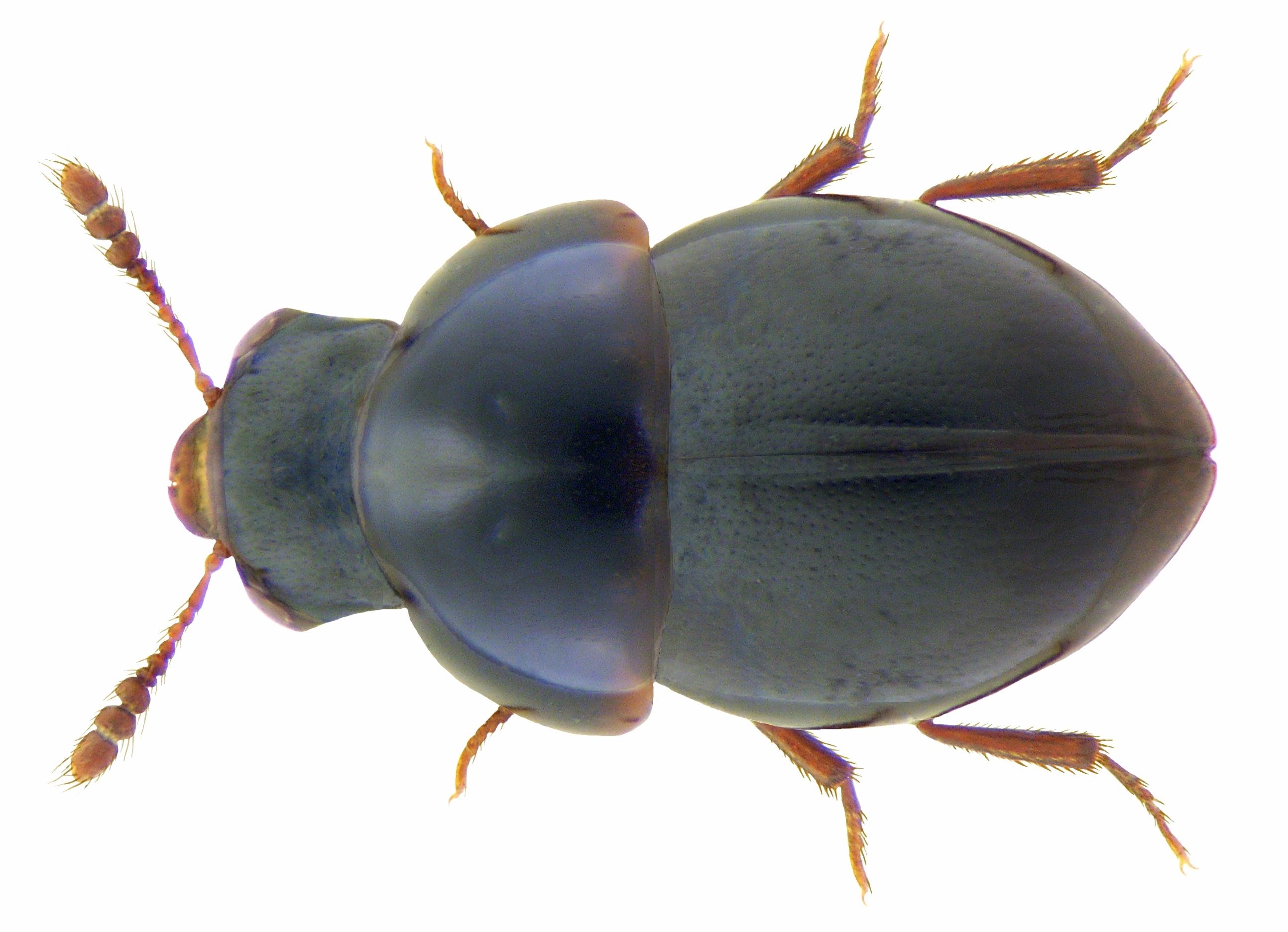 Image of <i><i>Agathidium</i></i> (Agathidium) <i>atrum</i> (Paykull 1798)