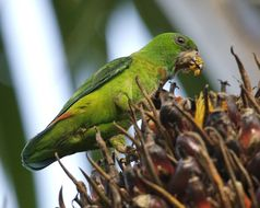 Image of Blue-crowned Hanging Parrot