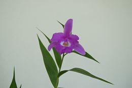 Image of <i>Sobralia macrantha</i> Lindl.