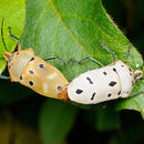 Image of Mallotus Shield Bug