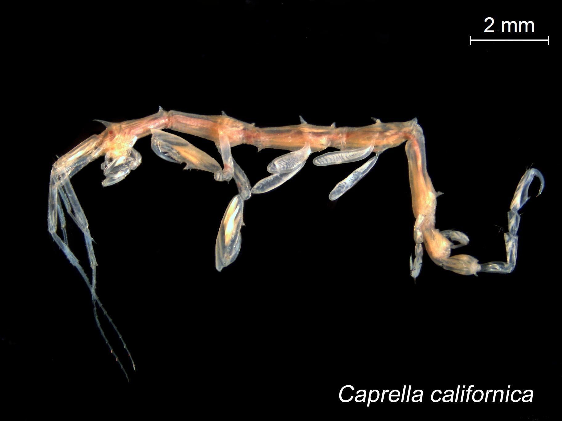 Image of <i>Caprella californica</i> Stimpson 1856