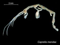 Image of <i>Caprella mendax</i> Mayer 1903