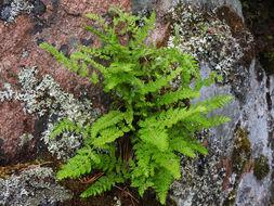 Image of rusty woodsia