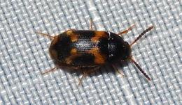 Image of <i>Mycetophagus serrulatus</i> (Casey 1900)