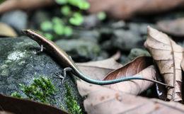Image of Azure-tailed Emoia