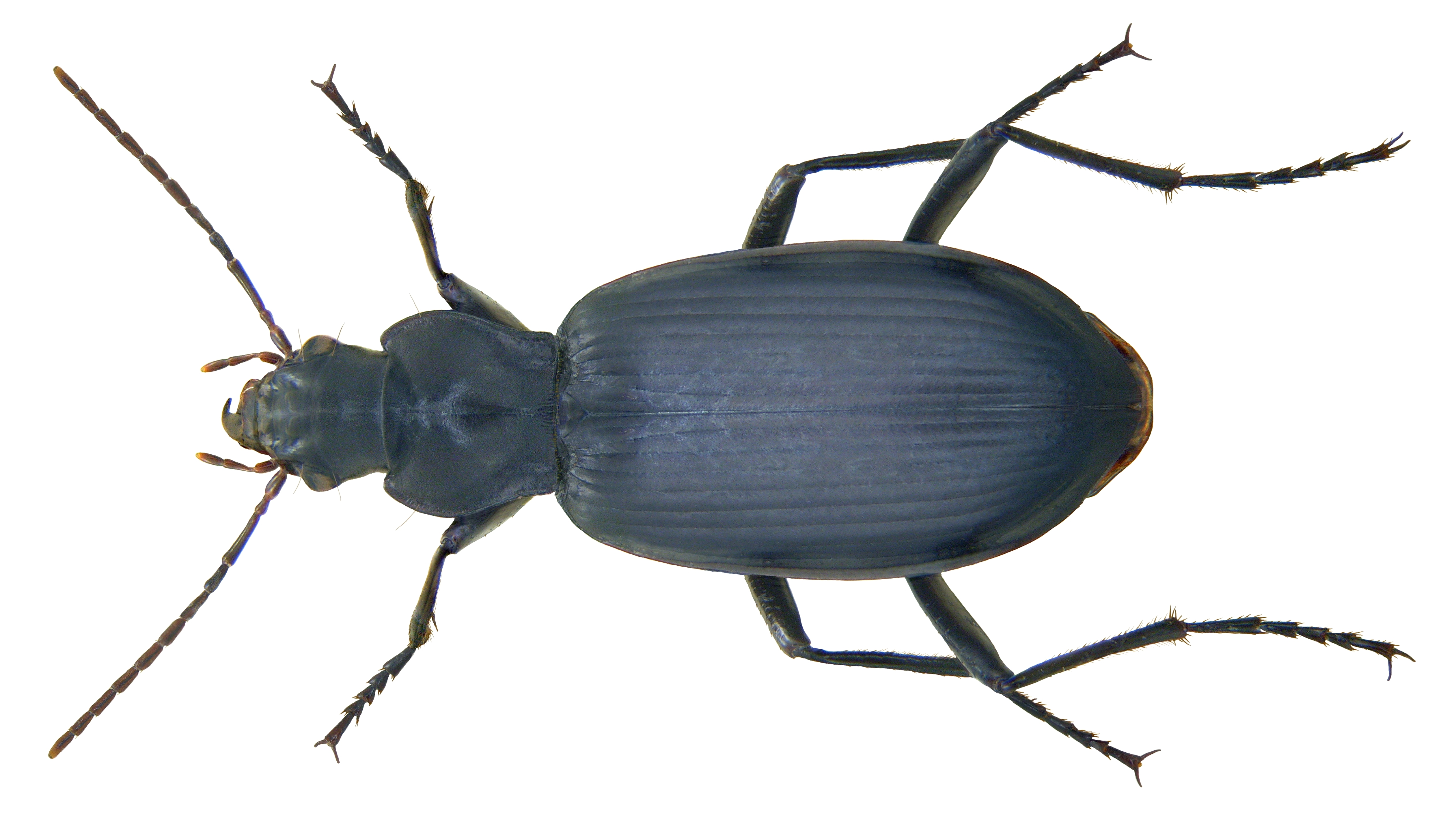 Image of <i>Sphodrus leucophthalmus</i> (Linnaeus 1758)